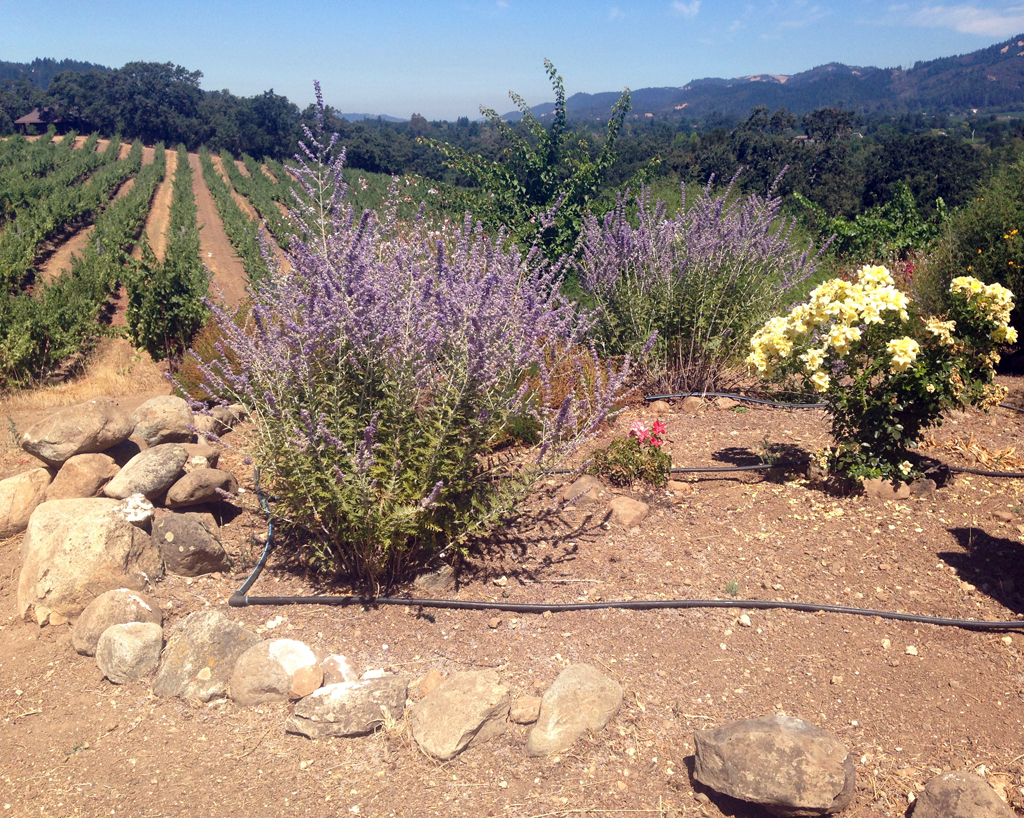 This grouping of plants, the insectary, encourages bees and other beneficial insects in the vineyard.