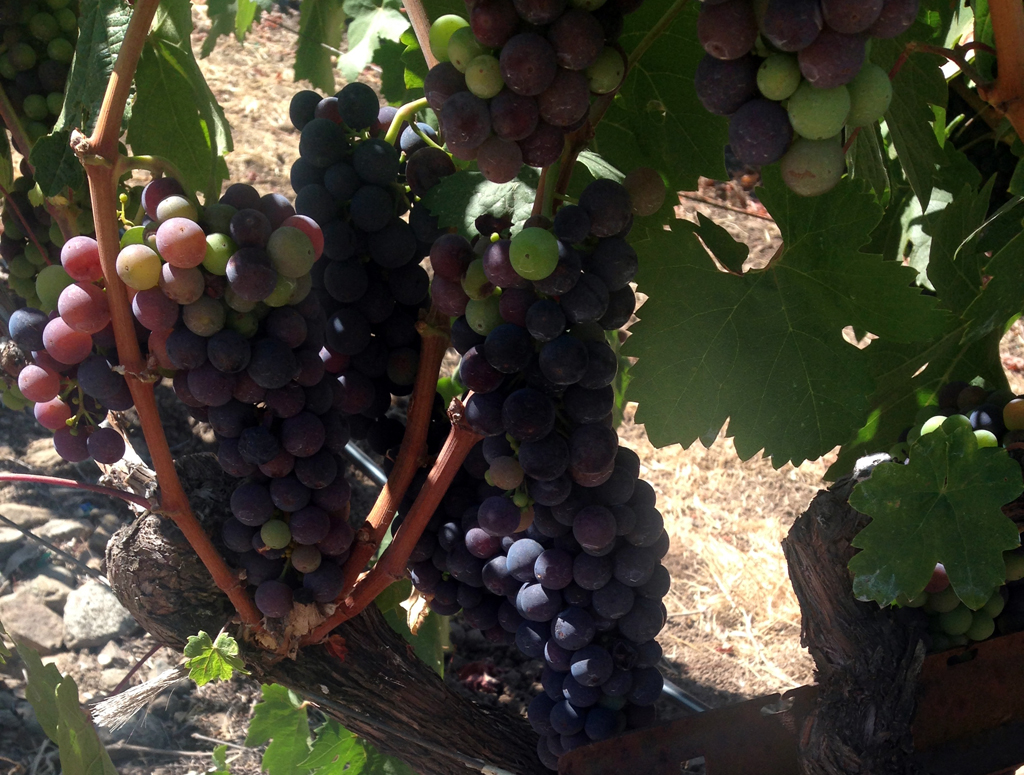 Veraison in action at MacLeod Family Vineyard.